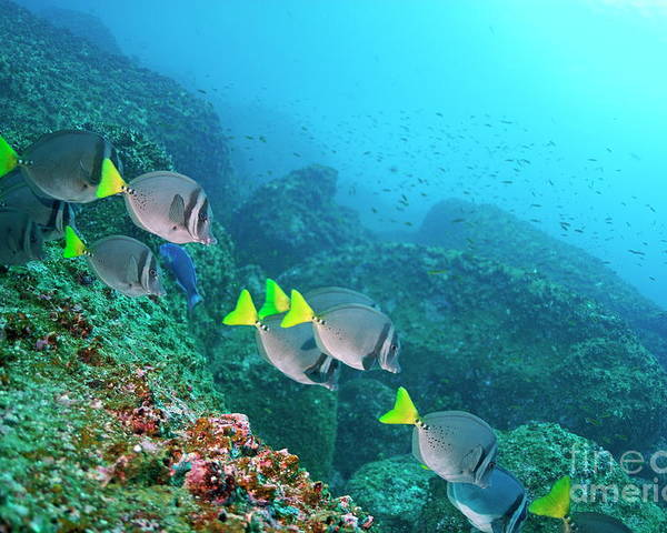 Freedom Poster featuring the photograph School Of Razor Surgeonfish On Rocky Seabed by Sami Sarkis