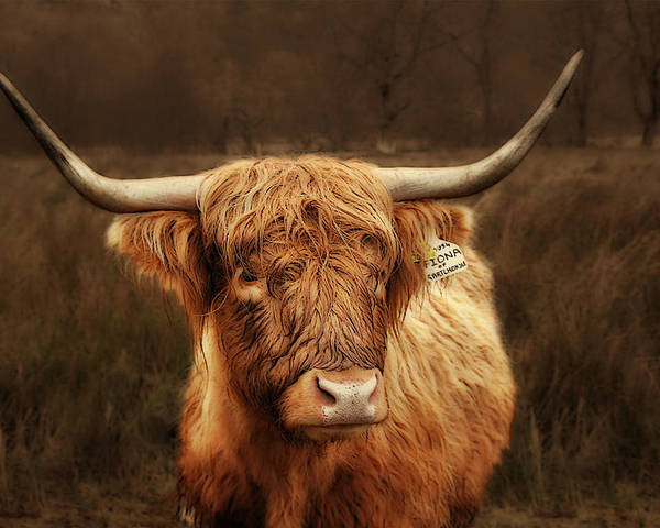 Scotland Poster featuring the photograph Scottish Moo Coo - Scottish Highland Cattle by Christine Till