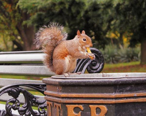 Squirrel Animal Park London Litter Eat Eating Chips Fries French Bank Photograph Poster featuring the photograph Scratchy by Steve K