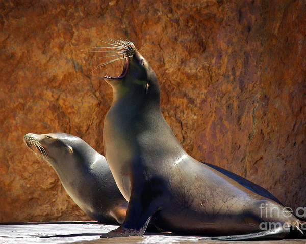 Animal Poster featuring the photograph Sea Lions by Carlos Caetano