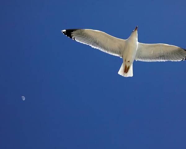 Animal Poster featuring the photograph Seagull In Flight by Detlev Van Ravenswaay