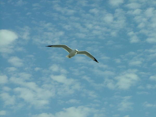 Seagull Poster featuring the photograph Seagull In Sky by Dennis Pintoski
