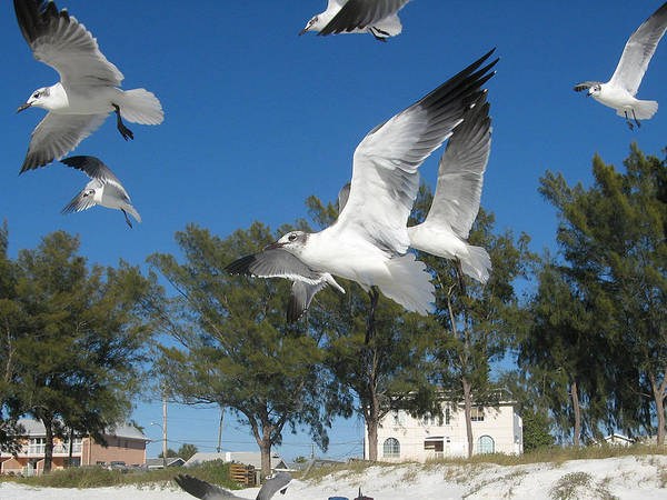 Seagulls Poster featuring the pyrography Seagulls On Anna Maria Island by Leontine Vandermeer