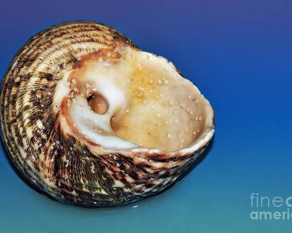Photography Poster featuring the photograph Seashell Wall Art 2 by Kaye Menner