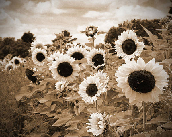 Sunflower Poster featuring the photograph Sepia Sunflower Field by Debbra Obertanec