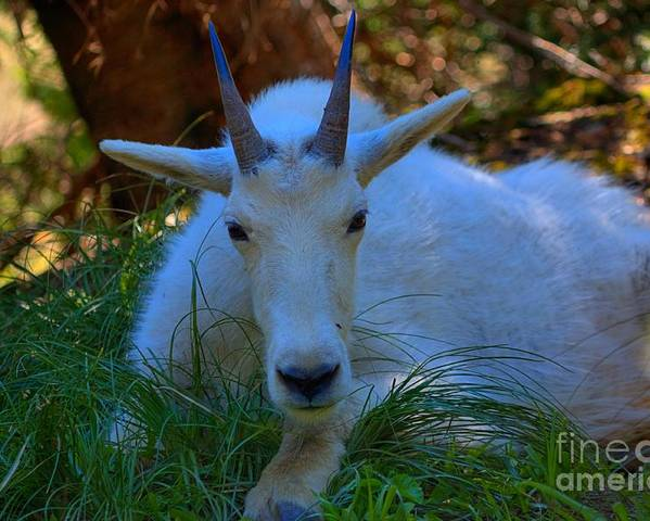 Glacier National Park Poster featuring the photograph Shady Goat by James Anderson