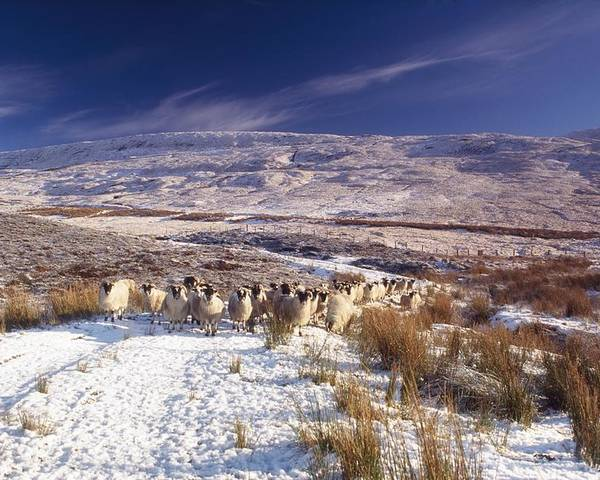 Atmosphere Poster featuring the photograph Sheep In Snow, Glenshane, Co Derry by The Irish Image Collection