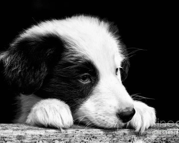 Sheepdog Poster featuring the photograph Sheepdog Puppy Looking Out by Rory Trappe