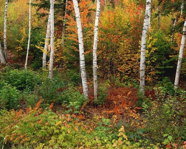 Shelburne Poster featuring the photograph Shelburne Birches by Nancy De Flon