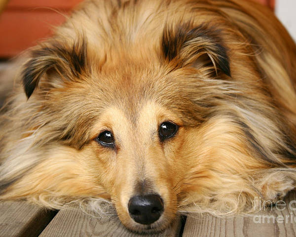 Dog Poster featuring the photograph Sheltie by Kati Molin