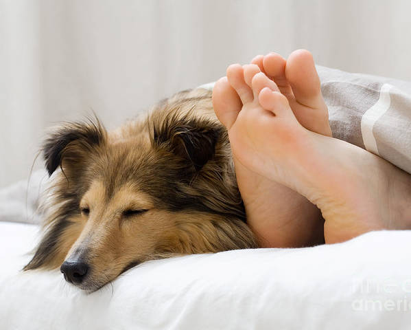 Bed Poster featuring the photograph Sheltie Sleeping With Her Owner by Kati Molin