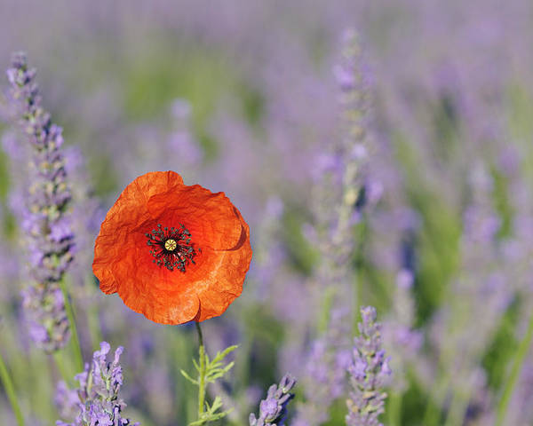 Horizontal Poster featuring the photograph Shirley Poppy In English Lavender Field, Valensole, Valensole Plateau, Alpes-de-haute-provence, Provence-alpes-cote D Azur, Provence, France by Martin Ruegner