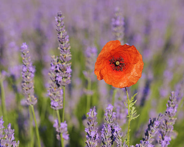 Horizontal Poster featuring the photograph Shirley Poppy In English Lavender, Valensole, Valensole Plateau, Alpes-de-haute-provence, Provence-alpes-cote D Azur, Provence, France by Martin Ruegner