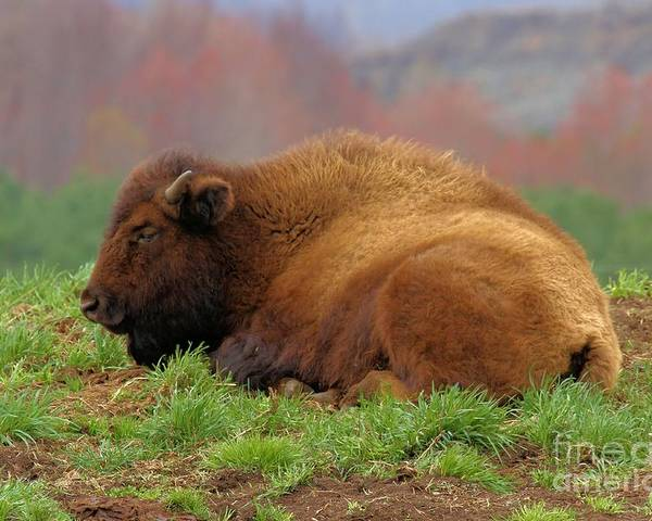 Bison Poster featuring the photograph Siesta by Adam Jewell
