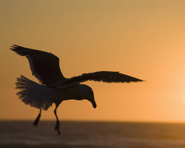 Aves Poster featuring the photograph Silhouette Of A Seagull In Flight At by Michael Interisano