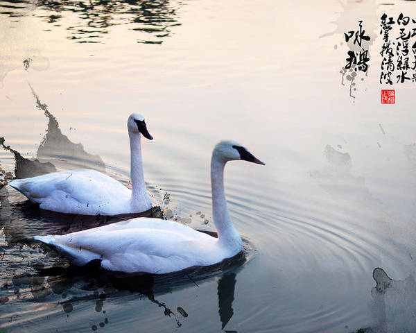 Swan Poster featuring the photograph Sing Of White Swan by Joanna Wald