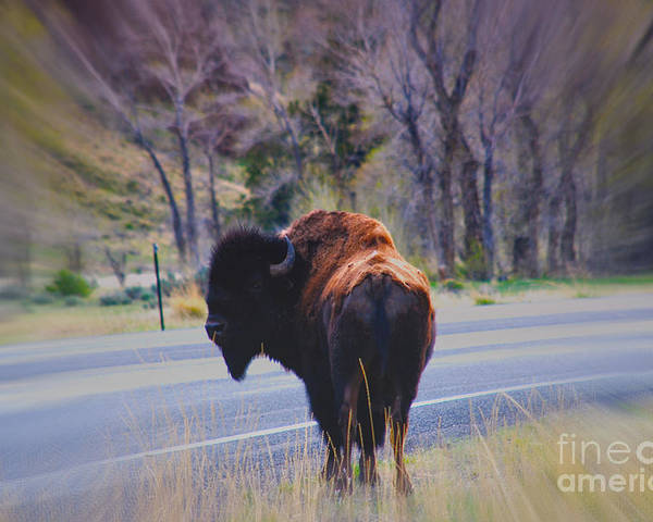Buffalo Poster featuring the photograph Single Buffalo In Yellowstone Np by Susanne Van Hulst