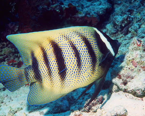 Pomacanthus Sexstriatus Poster featuring the photograph Six-banded Angelfish by Georgette Douwma
