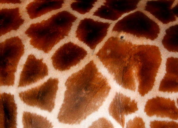 Giraffe Poster featuring the photograph Skin Deep by Sonja Bonitto