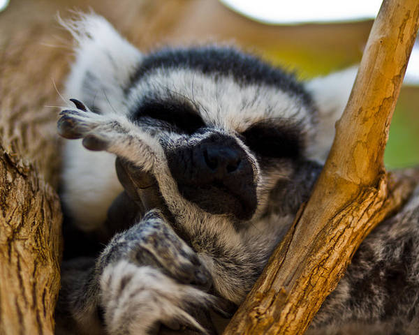 Cute Poster featuring the photograph Sleepy Lemur by Justin Albrecht