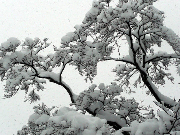 Tree Poster featuring the photograph Snow Falling On Branches by Angela Hansen