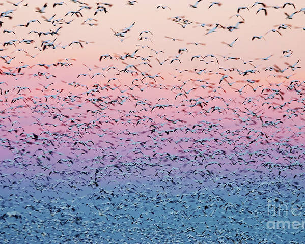 Birds Poster featuring the photograph Snow Geese Liftoff by Susan Isakson