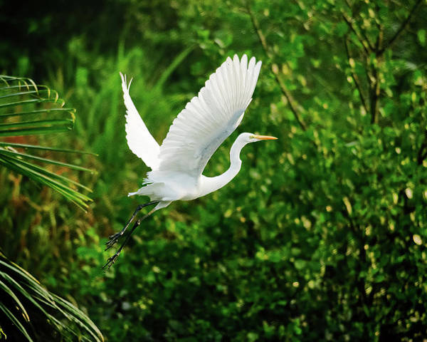 Horizontal Poster featuring the photograph Snowy Egret Bird by Shahnewaz Karim
