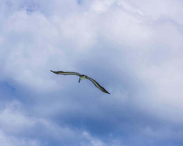 Sea Gull Poster featuring the photograph Soar by Andrea OConnell