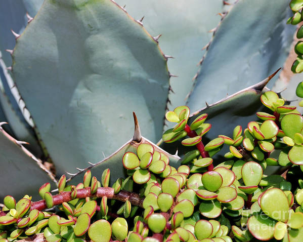 Agave Poster featuring the photograph Soft And Sharp by Heather Kirk