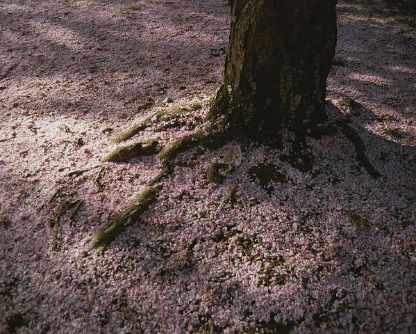 Plants Poster featuring the photograph Soft Light On A Pink Carpet Of Fallen by Stephen St. John