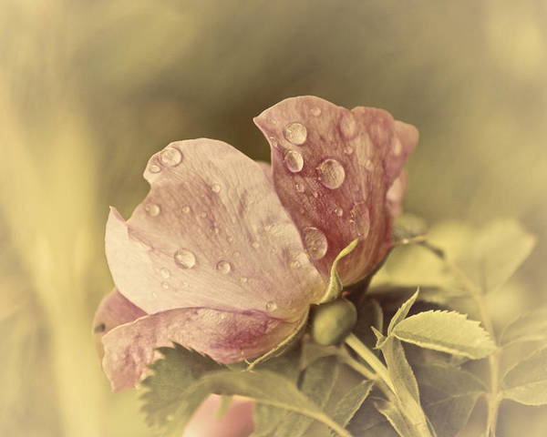 Flower Poster featuring the photograph Soft Peddles by Alisa Andersen