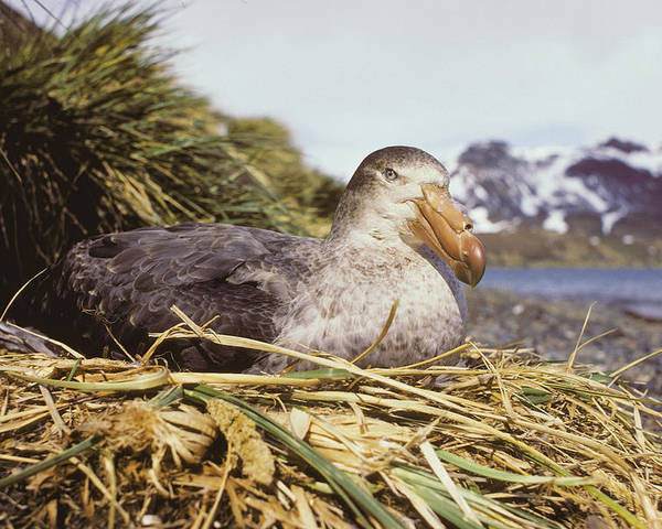 Macronectes Giganteus Poster featuring the photograph Southern Giant Petrel by Peter Scoones