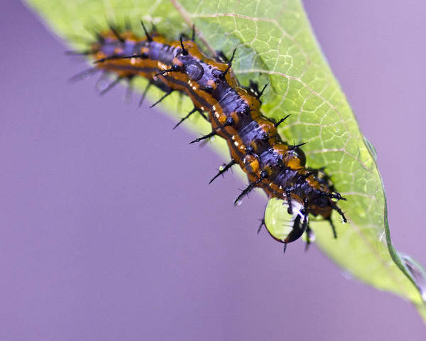 Caterpillar Poster featuring the photograph Spikes And Drops by Priya Ghose