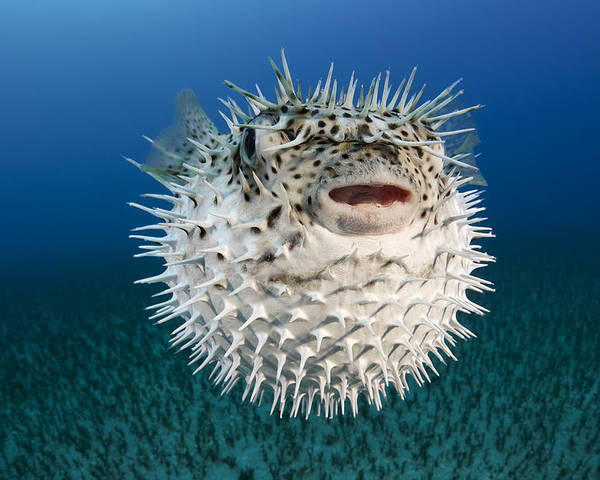 Alone Poster featuring the photograph Spotted Porcupinefish IIi by Dave Fleetham