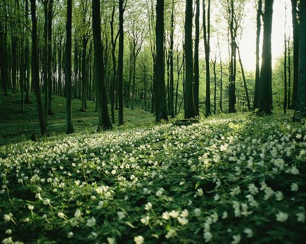 Forests And Forestry Poster featuring the photograph Spring Forest View With Anemones, Rugen by Sisse Brimberg