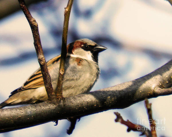 Bird Poster featuring the photograph Spring Sparrow Set 1 by Emily Kelley