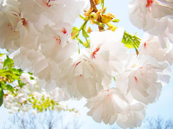 Spring Poster featuring the photograph Spring White Pink Tree Flower Blossoms by Baslee Troutman