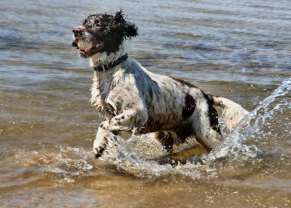 English Poster featuring the photograph Springer Spaniel by Julie L Hoddinott
