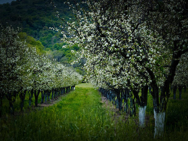 Spring Poster featuring the photograph Springtime In The Orchard II by Bill Gallagher