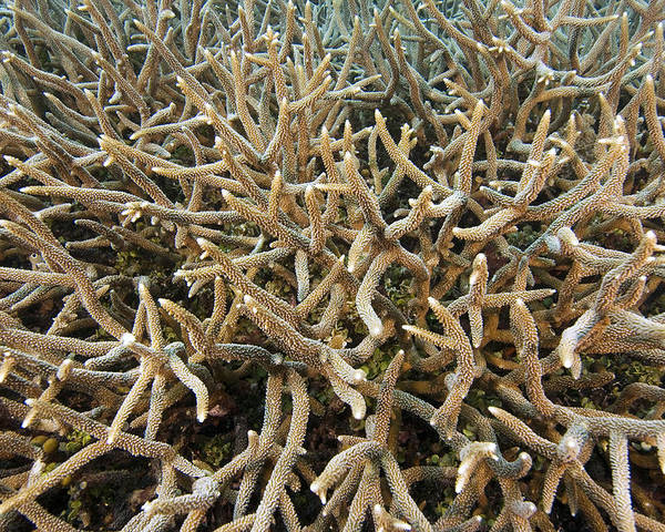 Acropora Sp. Poster featuring the photograph Staghorn Coral by Matthew Oldfield