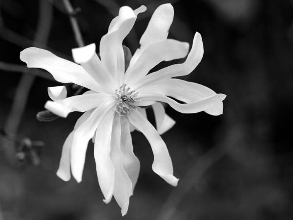 Star Magnolia Poster featuring the photograph Star Magnolia by Lisa Phillips