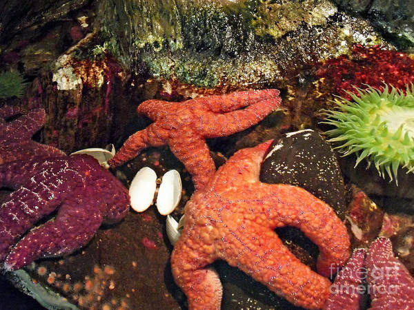Starfish Medley Poster featuring the photograph Starfish Medley by Methune Hively