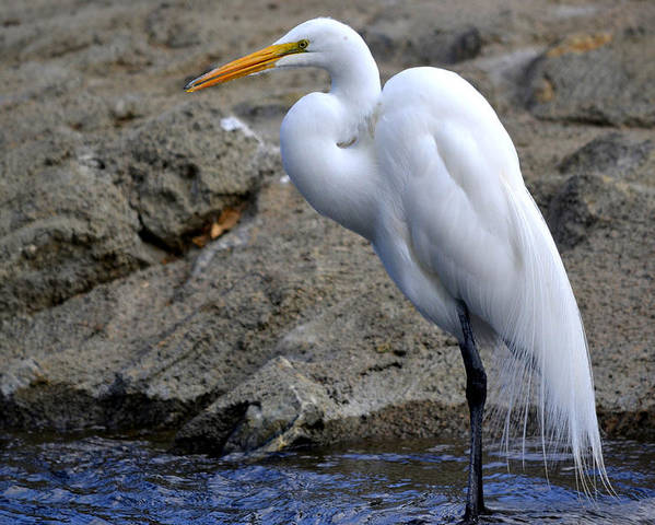 Great White Egret Poster featuring the photograph Statuesque by Fraida Gutovich
