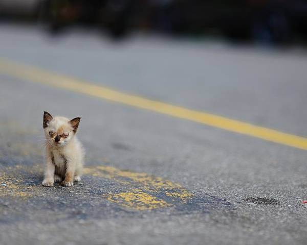 Horizontal Poster featuring the photograph Street Kitten On Road by Carlina Teteris