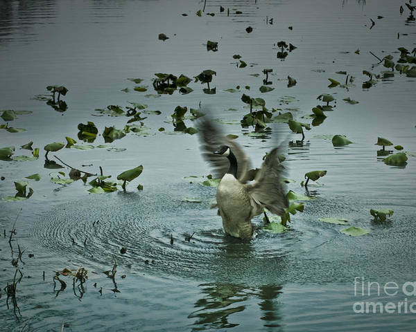 Wildlife Poster featuring the photograph Stretching His Wings by Royce Gideon
