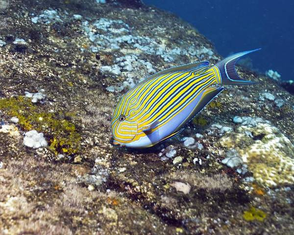 Striped Surgeonfish Poster featuring the photograph Striped Surgeonfish by Georgette Douwma
