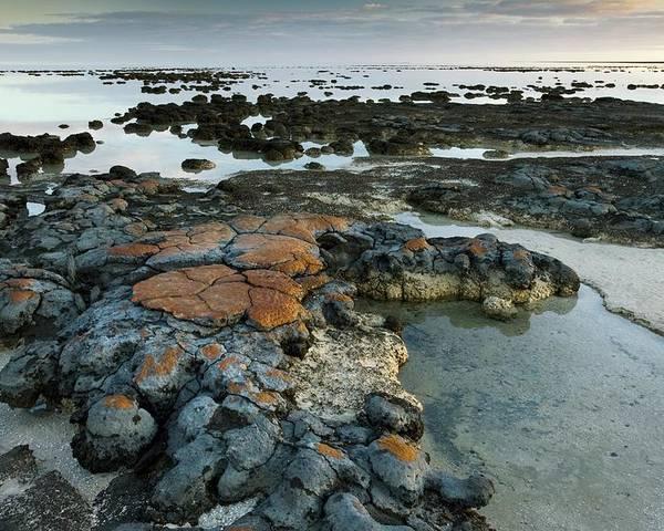 Stromatolites Poster featuring the photograph Stromatolites In Australia by Bob Gibbons