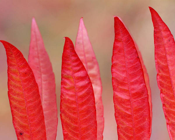 Autumn Colors Poster featuring the photograph Sumac Leaves Rhus Coriaria In Fall by Mike Grandmailson