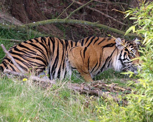 Point Defiance Poster featuring the photograph Sumatran Tiger - 0008 by S and S Photo