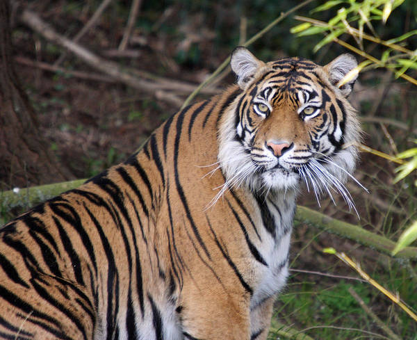 Point Defiance Poster featuring the photograph Sumatran Tiger - 0009 by S and S Photo